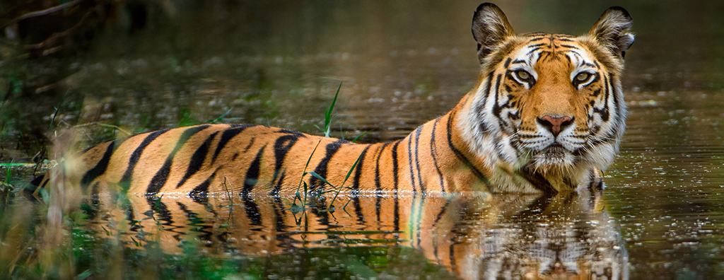 tigers take care
