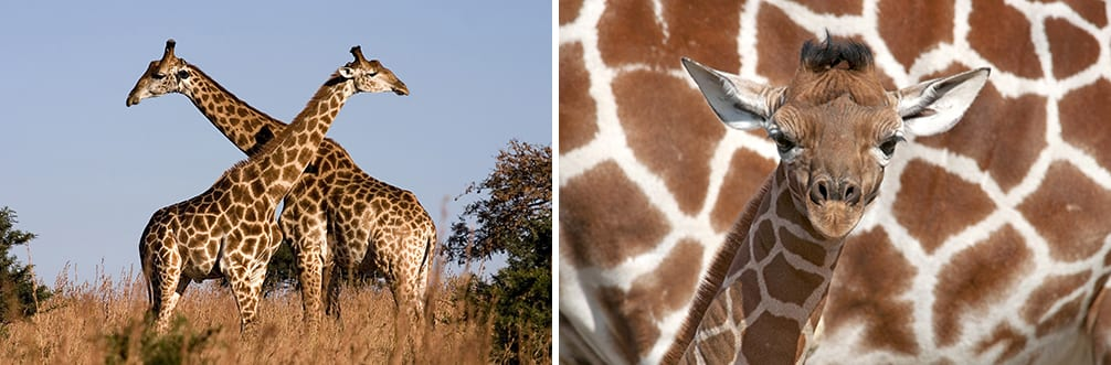 conservation giraffes take care