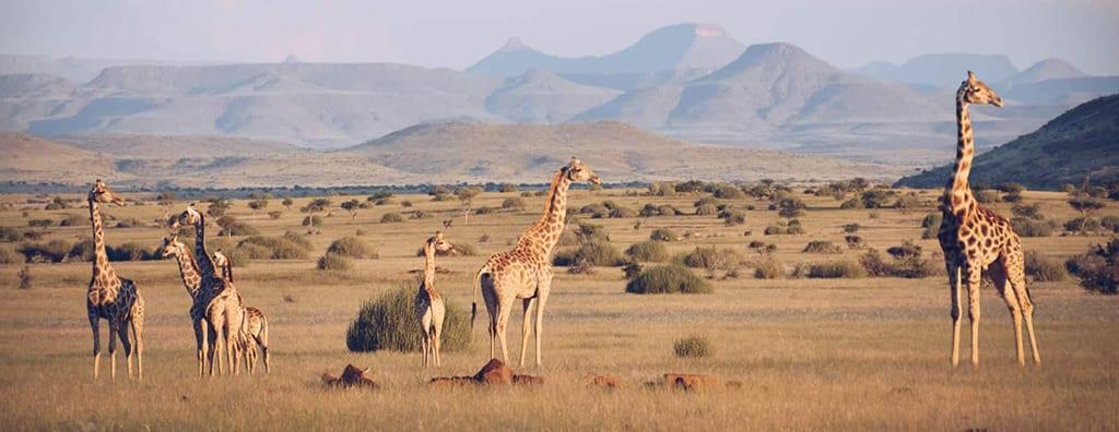 giraffes conservation take care